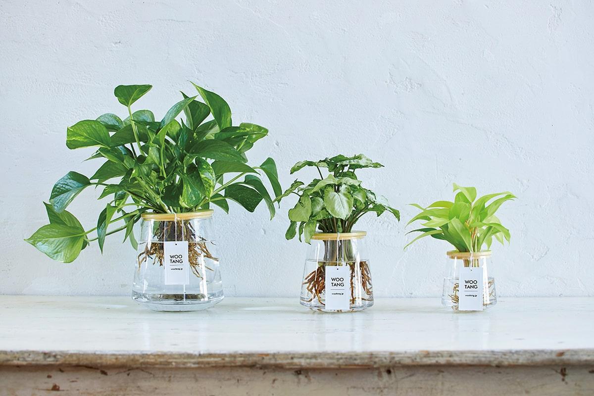 大自然のやすらぎを自宅で味わう。<br>土を使わず水で育てる植物「WOOTANG」