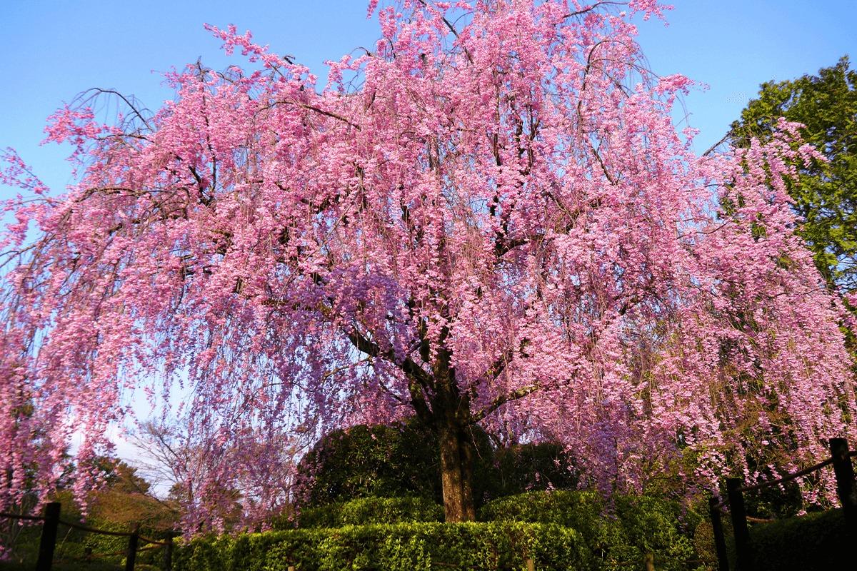 密を避け、京都の桜・寺院を満喫する旅<br>清水寺・東福寺のライトアップ貸切ツアーも
