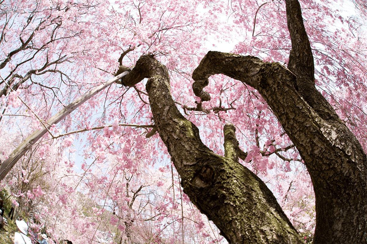 2021春の京都、密を避けて桜・寺院を満喫する旅<br>京都ブライトンホテルの清水寺・東福寺のライトアップ貸切ツアー