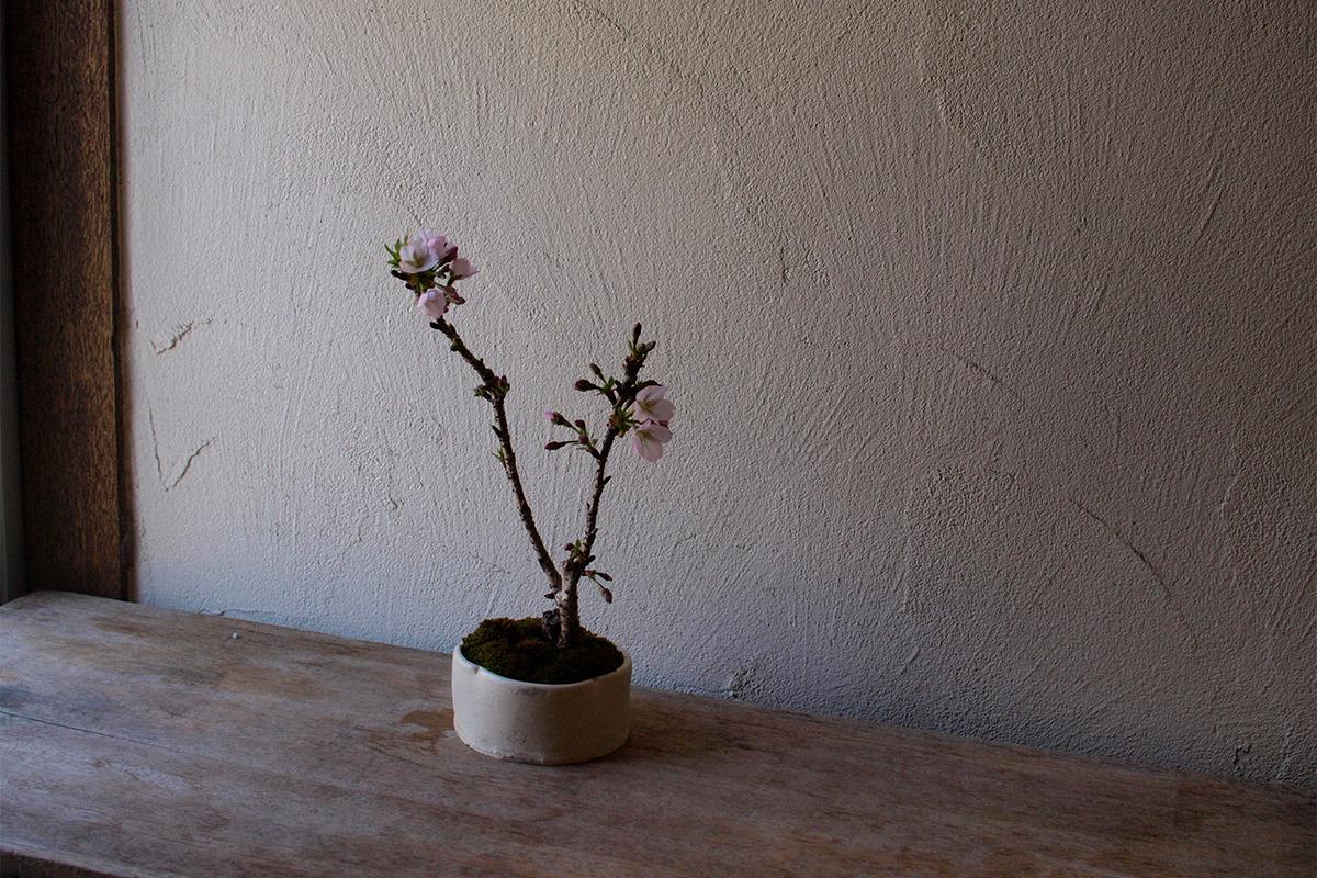 桜など春の花の盆栽の展示・販売「山笑う」展を、とらや 東京ミッドタウン店ギャラリーにて開催