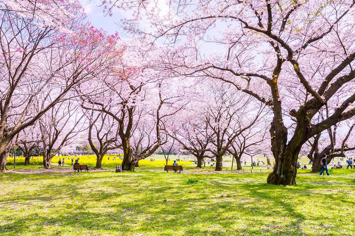 平安時代から受け継がれてきた花見。『卯月』の祭礼と行事<br><small>京都ツウになれる年中行事</small>