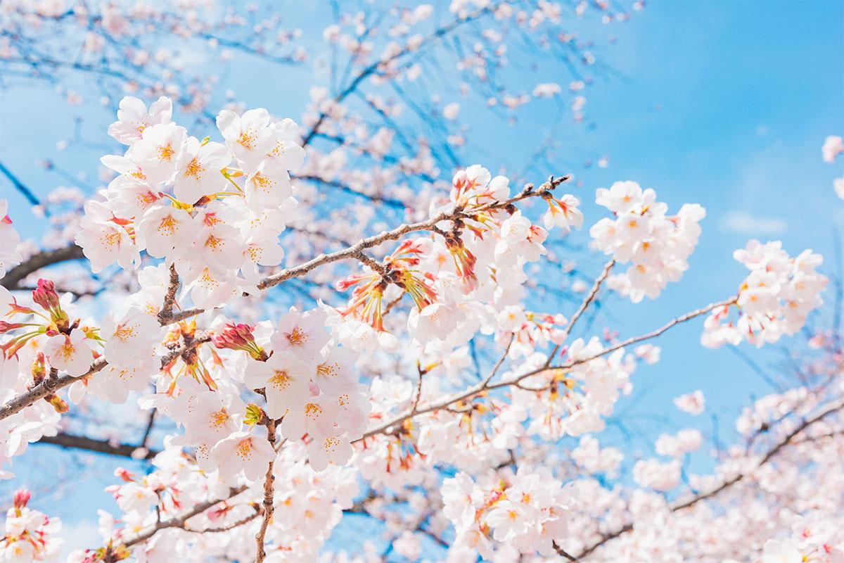 お花見を、昔の日本ではどう楽しんでいた?<br>お花見の基礎知識